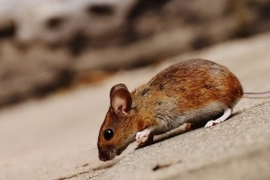 Mice Control, Pest Control in Lee, SE12. Call Now 020 8166 9746