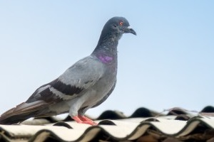 Pigeon Control, Pest Control in Lee, SE12. Call Now 020 8166 9746